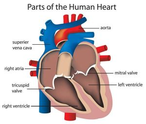 Part of the Human Heart