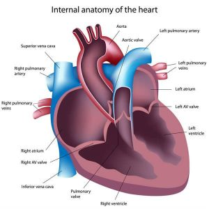 Internal anatomy of the heart